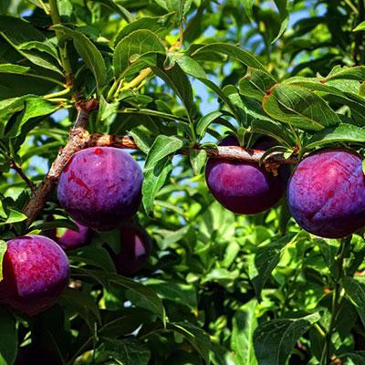 紫叶李树苗