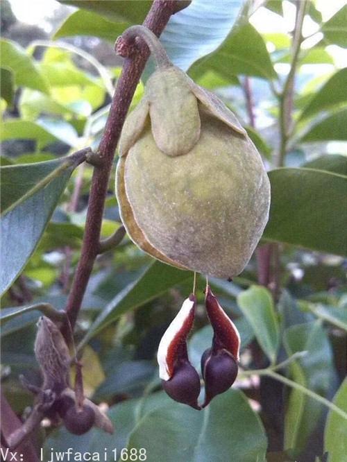 沉香種子多少錢一斤?2020最新報價