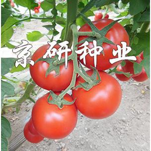京番502番茄种子|西红柿种子 红果番茄种子抗线虫抗叶霉病番茄籽