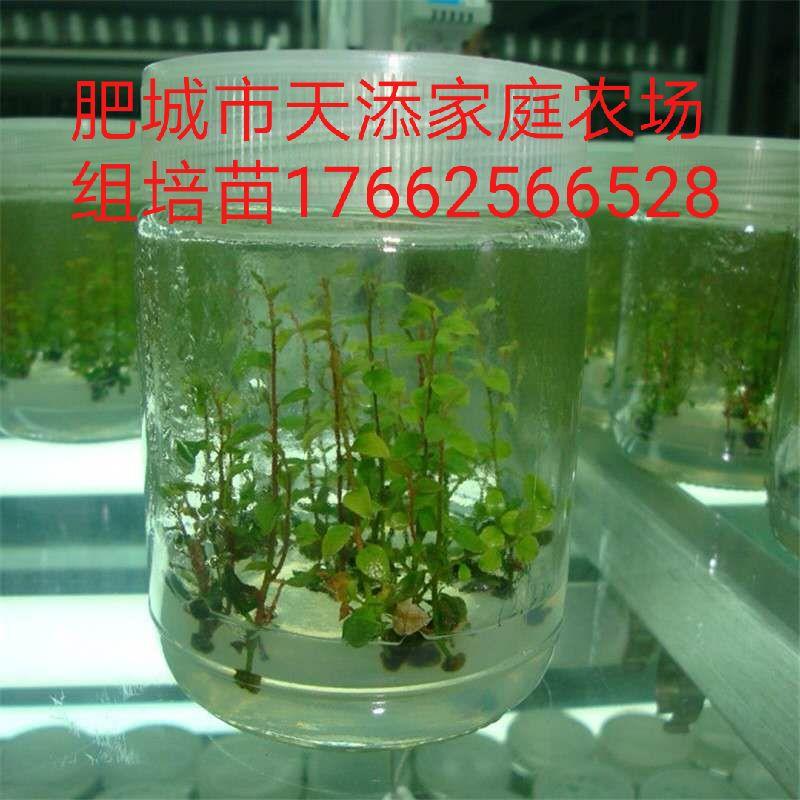 蓝莓组培苗